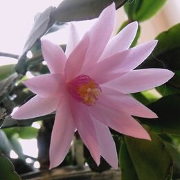 Комнатные растения - Рипсалидопсис пасхальник детки в горшке, 0