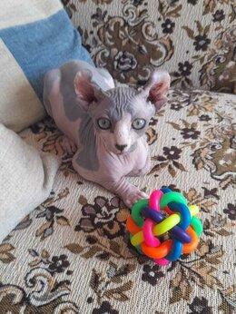 Кошки - Котёнок сфинкс эльфик , 0