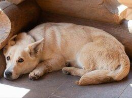 Собаки - Обаятельная Ряженка, ростом с корги, ищет дом, 0