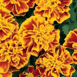 Рассада, саженцы, кустарники, деревья - Бархатцы отклоненные Оранжевые с желтым, 0