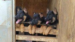 Собаки - щустрые щенки немецкой овчарки, 0