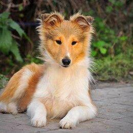 Собаки - Шелти ( колли в миниатюре), 0