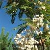 Рябина кашмирская и др. Саженцы по цене 1100₽ - Рассада, саженцы, кустарники, деревья, фото 1