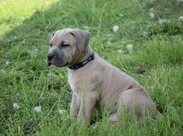 Собаки - Щенки породы прайтер , 0