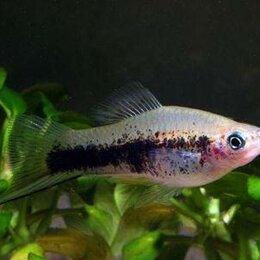 Аквариумные рыбки - Кубинский меченосец, 0