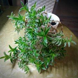 Комнатные растения - Растение Цианотис сомалийский Cyanotis somaliensis, 0