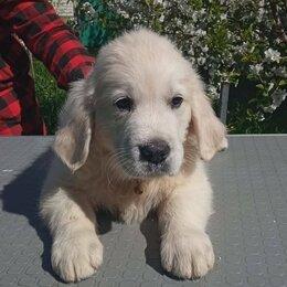Собаки - Высокопородные щенки золотистого ретривера, 0