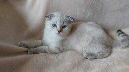Кошки - Шотландский линкс котенок  , 0