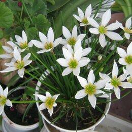 Комнатные растения - Зефирантес  белый, 0