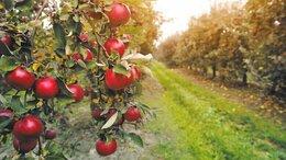 Сельское хозяйство -    Продается яблоневый сад 870 га, 0