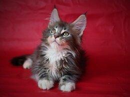 Кошки - Котик Мейн-кун в. Балаково, 0