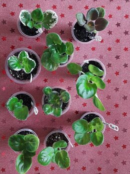 Комнатные растения - Фиалки, 0