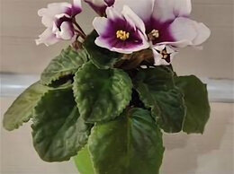Комнатные растения - Цветущие фиалки в подарок, 0