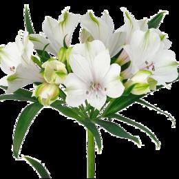 Удобрения - Флорико Альстромерия Silvester gasilvs,  см, 0