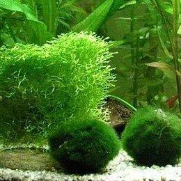 Растения для аквариумов и террариумов - Кладофора шаровидная (Cladophora aegagrophila), 0