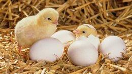 Товары для сельскохозяйственных животных - Электрический инкубатор на 45 яиц Золушка 220 В…, 0
