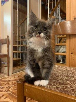 Кошки - Кошечка породы мейн-кун, 0