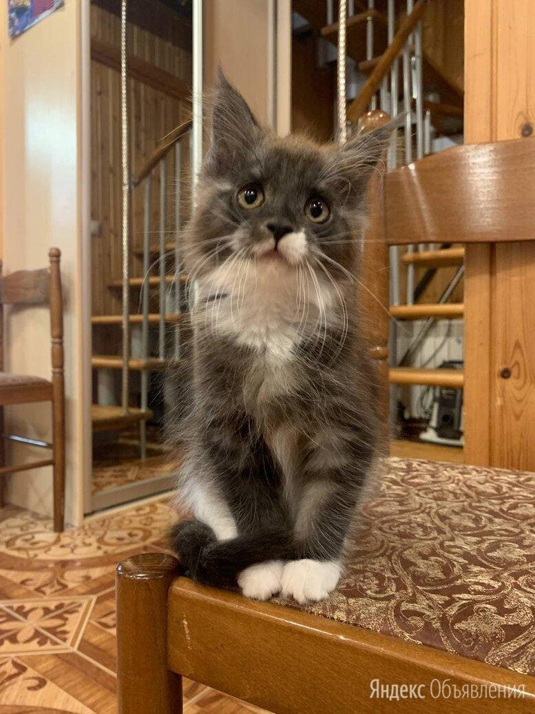 Кошечка породы мейн-кун по цене 12000₽ - Кошки, фото 0