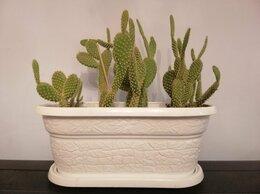 Комнатные растения - Кактусы Опунция, 30 см, молодые в горшке., 0