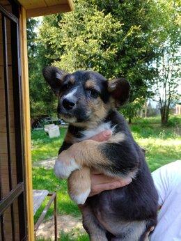 Собаки - Щенки чебурашки, щенок, 0
