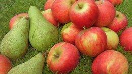 Рассада, саженцы, кустарники, деревья - Саженцы плодовых деревьев и кустарников , 0
