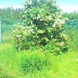 Рассада, саженцы, кустарники, деревья - Саженцы вишни карликовой, сливы, калины декоративной, 0