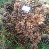 Сбор опавшей шишки Крымской сосны - Сборщики, фото 1