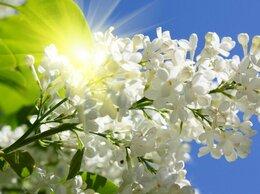 Цветы, букеты, композиции - Сирень цветки сорваные, на вес, 0