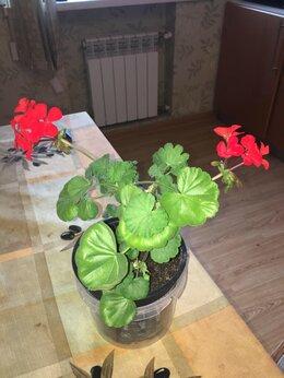 Комнатные растения - Пеларгония Махровая , 0