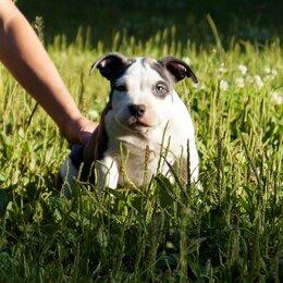 Собаки - Американский булли , 0