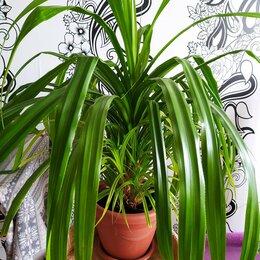 Комнатные растения - Панданус, 0