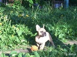 Собаки - Щенок Французского бульдога, 0