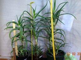 Комнатные растения - Алоэ Древовидное (Столетник) 5,5-6 лет., лекарств, 0