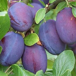 Рассада, саженцы, кустарники, деревья - Саженец сливы Синий дар, 0