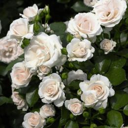 """Комнатные растения - Роза флорибунда """"Aspirin Rose"""" (Аспирин Роуз) …, 0"""