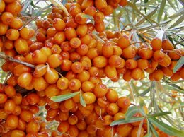 Рассада, саженцы, кустарники, деревья - Саженцы облепиха садовая крупная,  вишня…, 0