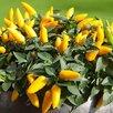 Семена Сортовых ПЕРЦЕВ для выращивания в ДОМАШНИХ условиях/БАЛКОН/Квартира по цене 50₽ - Семена, фото 12