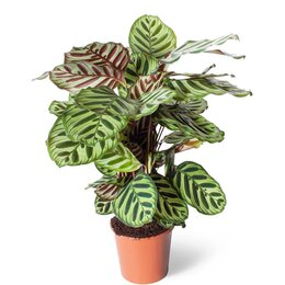 Комнатные растения - Калатея Макояна, 0