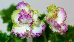 Комнатные растения - Фиалки сортовые, стрептокарпусы, гемантус., 0