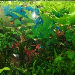 Аквариумные рыбки - Пецилии, подростки разного окраса, 0