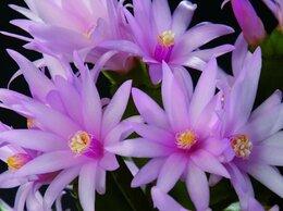 Комнатные растения - Рипсалидопсисы, 0