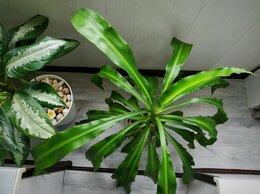 Комнатные растения - Драцена Массенжеана, 0