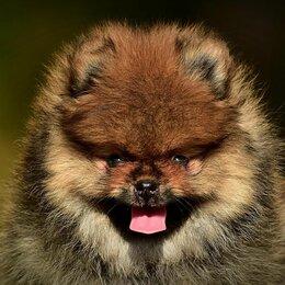 Собаки - Шпиц померанский/Продается щенок , 0