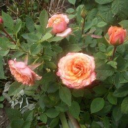 Комнатные растения - Розы домашние, 0