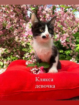 Кошки - Которебенок Клякса ищет дом, 0