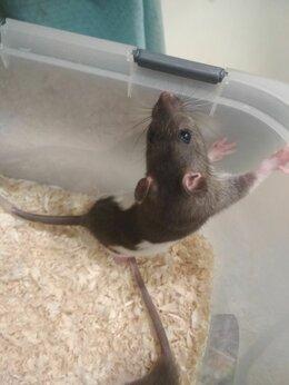 Грызуны - Крыски, 0