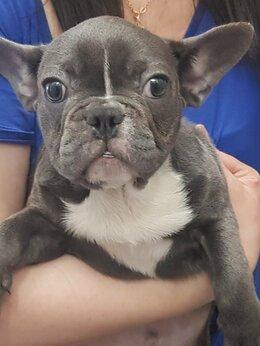 Собаки - Французкий бульдог 4месяца , 0