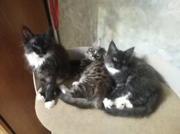 Кошки - Продам котят мейн-кун породистых, 0