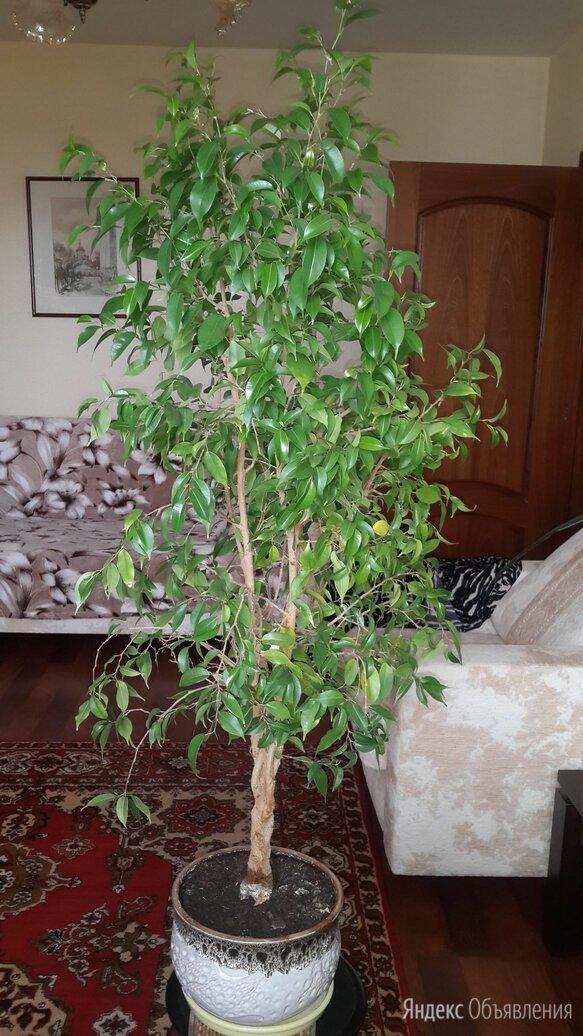 Фикус бенджамина  по цене 1000₽ - Комнатные растения, фото 0