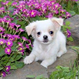 Собаки - Мишаня.Чудесный чихуахуа с доставкой 3 месяца, 0